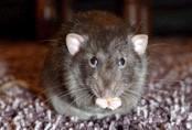 revolting-rat